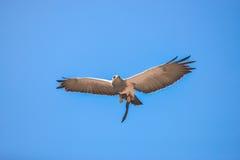 Falcon in free flight at Palmitos Park Maspalomas, Gran Canaria, Spain Stock Photo