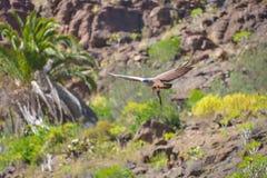 Falcon in free flight at Palmitos Park Maspalomas, Gran Canaria, Spain Royalty Free Stock Photography