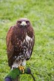 Falcon Gaze. A falcon gazing right at you Stock Image