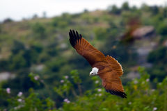 Falcon gliding near a hill. Gliding brahmini kite with a green hilly background stock image