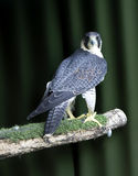 Falcon. On a green background stock photography