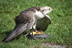 Falcon. On a green field Stock Photography