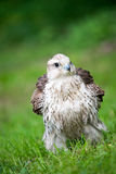 Falcon on green grass Royalty Free Stock Image