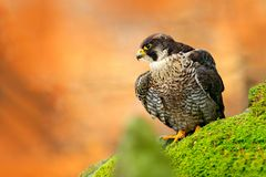 Falcon, green moss stone. Bird of prey Peregrine Falcon sitting on the stone with orange autumn forest. Wildlife scene from Europe Royalty Free Stock Photo