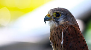 Falcon (greppio) Royalty Free Stock Photos