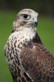 Falcon - Gyrfalcon portrait Royalty Free Stock Photography