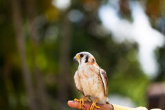 A Falcon on the hand Stock Photos