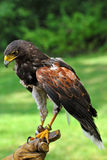 Falcon with Handler Stock Images