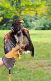 Falcon with Handler Stock Photography