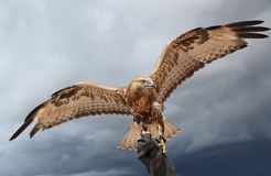 Falcon has spread wings. Background sky Stock Images