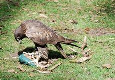 Falcon - hawk Royalty Free Stock Photos