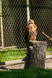 Falcon hawk sits on a tree Royalty Free Stock Photography