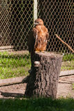 Falcon hawk sits on a tree Royalty Free Stock Photo