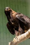 Falcon hawk sits on a tree Royalty Free Stock Images