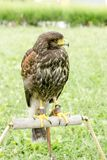 Falcon - hawk is ready for hunting, Lord of the sky, falcon standing and looking Stock Photos