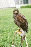 Hawk - falcon is ready for hunting, falcon standing and looking Stock Image