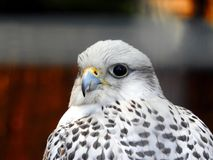 Falcon. Hawk, talons.Falco rusticolus royalty free stock photos