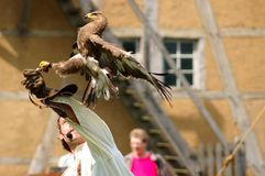 Falcon, hawk trainer. Royalty Free Stock Photos