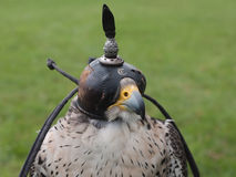 Falcon head Royalty Free Stock Photo