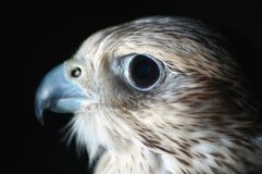 Falcon Head. Falcon looking to the left in a dark room Royalty Free Stock Photo