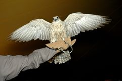 Falcon Head. Falcon try to fly from hand in a room Royalty Free Stock Photo