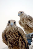 Falcon Head. Two Falcons one looking to camera man and one looking around Royalty Free Stock Photos