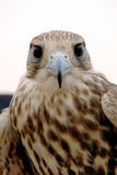 Falcon Head. Falcon looking to the Camera man by it sharp eye Stock Photo