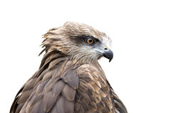 Falcon head. Falcon on a white background Royalty Free Stock Photo