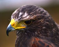 Falcon head shot Royalty Free Stock Images