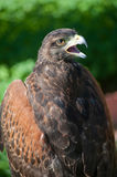 Falcon for hunt Royalty Free Stock Image