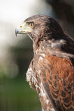 Falcon for hunt Royalty Free Stock Photography