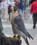 Falcon. Hunting bird of prey Stock Image