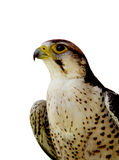 Falcon isolated. Profile of a prey bird Stock Photography