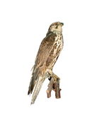 Falcon isolated over white background Stock Photos