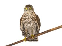 Falcon isolated on a white. Background Stock Image