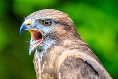 Falcon with its beak open. Close up of a Falcon with an open beak Stock Images