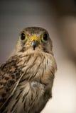 Falcon eagle Royalty Free Stock Photography