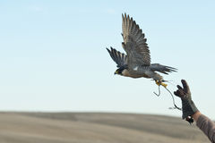 Free Falcon Jumping Into Flight Stock Image - 35547011