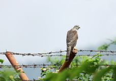 A falcon in jungle Royalty Free Stock Photo