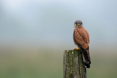 Falcon, the Kestrel (Falco tinnunculus). A wild male kestrel is watching from a wooden fence pole in an early foggy morning. Uppland, Sweden royalty free stock photography