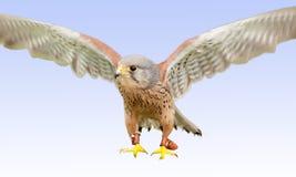Falcon landing Stock Photo