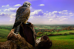 Falcon and Landscape. Young falcon looks over autumn landscape in rural Somerset, UK royalty free stock image