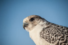 Falcon on the leash in the desert. Falcon is seen on the leash in the desert near Dubai, UAE Stock Photos
