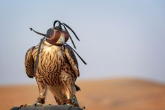 Falcon with a leather hood. Falconry show in the desert near Dubai, UAE. Falcon with a leather hood. Falconry show in the desert near Dubai, United Arab Emirates royalty free stock photos