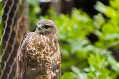 Falcon. Little falcon in the zoo cage in ukraine Stock Photography