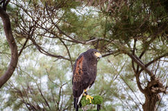 Falcon. A lonely Maltese falcon in a tree near the Blue Grotto Royalty Free Stock Photography