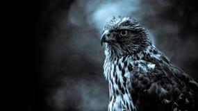 Falcon Stock Image