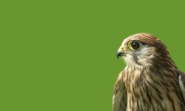 Falcon looking for prey. Falcon in lower right corner in front of green background Royalty Free Stock Photos