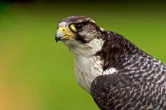 Falcon Looks On Stock Photo