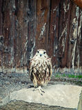 Falcon Royalty Free Stock Photo